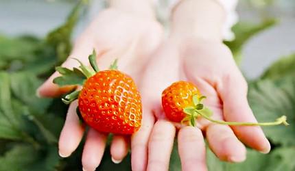 西阿波草莓