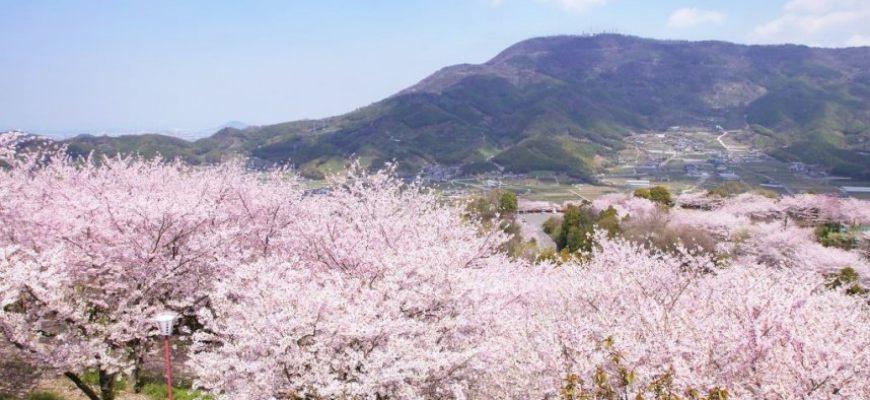 日本山陽山陰櫻花推薦朝日山森林公園