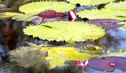 日本高知縣莫內之庭水之庭蓮花