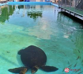 親子旅遊必去推薦四國水族館超另類騎乘海豚好刺激學校泳池養大魟魚的室戸廢校水族館的校園泳池養巨型海龜