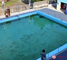 親子旅遊必去推薦四國水族館超另類騎乘海豚好刺激學校泳池養大魟魚的室戸廢校水族館的校園泳池養魚