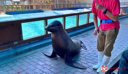 親子旅遊必去推薦四國水族館超另類騎乘海豚好刺激學校泳池養大魟魚的桂濱水族館的海獅秀中海獅在走道上做怪表情