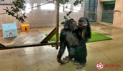 親子旅遊必去推薦四國水族館超另類騎乘海豚好刺激學校泳池養大魟魚的高知縣立野市動物公園的熱帶林的黑猩猩Milky生活照