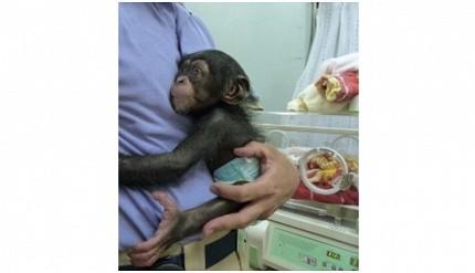 親子旅遊必去推薦四國水族館超另類騎乘海豚好刺激學校泳池養大魟魚的高知縣立野市動物公園的熱帶林的黑猩猩Milky出生一個月照片